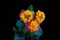 Mooie bloem op een zwarte achtergrond Royalty-vrije Stock Foto