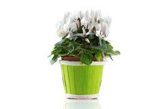 Mooie bloem in pot die op wit wordt geïsoleerdo Stock Afbeelding