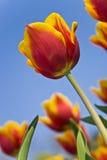 Mooie bloem rode en gele tulpen Stock Afbeelding