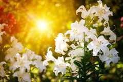 Mooie bloem van een lelie. Stock Fotografie