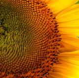Mooie bloem van een zonnebloem Stock Foto