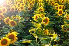 Mooie bloem van een zonnebloem Royalty-vrije Stock Afbeeldingen