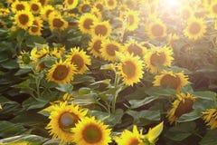 Mooie bloem van een zonnebloem royalty-vrije stock afbeelding
