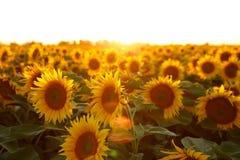 Mooie bloem van een zonnebloem Stock Fotografie