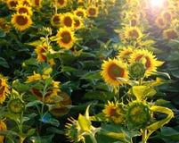 Mooie bloem van een zonnebloem royalty-vrije stock foto