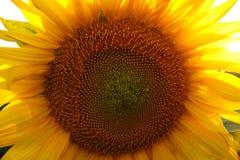 Mooie bloem van een zonnebloem Stock Afbeeldingen