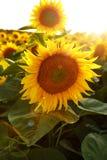 Mooie bloem van een zonnebloem Stock Foto's