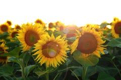 Mooie bloem van een zonnebloem stock afbeelding
