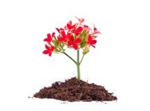 Mooie bloem van kalanchoe stock afbeeldingen