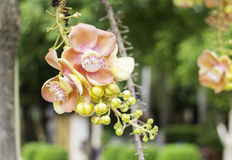 Mooie bloem van Kanonskogelboom, Zoutboom, Zout van India, Co Royalty-vrije Stock Foto