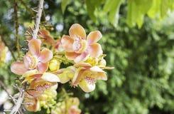 Mooie bloem van Kanonskogelboom, Zoutboom, Zout van India, Co Stock Afbeeldingen