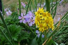 Mooie bloem van Noordelijke Pamirs Stock Foto's