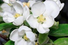 Mooie bloembloei op een tak van een appelboom De ochtend? gebied van de lente van groen gras en blauwe bewolkte hemel Stock Afbeeldingen