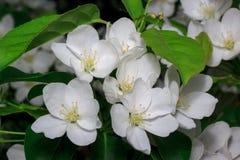 Mooie bloembloei op een tak van een appelboom Leef aard Stock Afbeelding