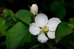 Mooie bloembloei op een tak van een Apple-boom Stock Foto's
