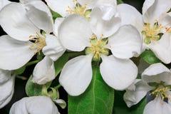 Mooie bloembloei op een tak van een Apple-boom Royalty-vrije Stock Foto