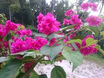 Mooie bloemdocument bougainvillea Royalty-vrije Stock Fotografie