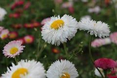 Mooie Bloemen in Bulgarije Royalty-vrije Stock Fotografie