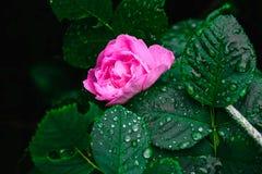 Mooie bloemen met dalingen op de bladeren Stock Afbeelding