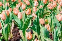 Mooie bloemen oranje tulpen in tuin stock afbeeldingen