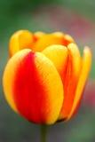 Mooie bloemen rode gele tulp Sluit omhoog Stock Afbeeldingen