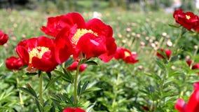 Mooie bloemen rode pioenen in de tuin stock video