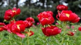 Mooie bloemen rode pioenen in de tuin stock footage