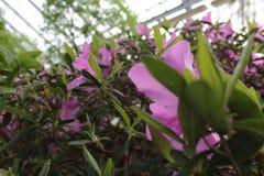Mooie bloemen van azalea's Royalty-vrije Stock Afbeeldingen