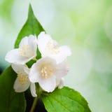 Mooie bloemen van een jasmijn. De zomerachtergrond Stock Foto