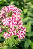 Mooie bloemen van flox Aardscène met bloeiende tuinbloemen Royalty-vrije Stock Foto's