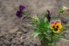 Mooie bloemen van geel en blauw in de tuin royalty-vrije stock afbeeldingen