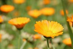 Mooie bloemen van gele calendula op bloembed stock fotografie