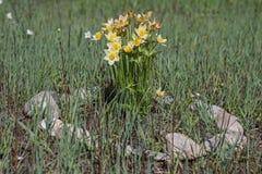 Mooie bloemen van gele wilde sneeuwklokjes in het bos onder het gras in een steenbloembed stock foto