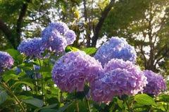 Mooie bloemen van Hydrangea hortensia in de tuin op zonnige dag stock fotografie