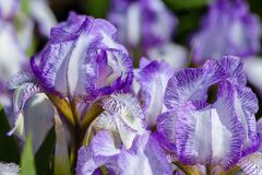 Mooie bloemen van iris met grote bloemblaadjes van witte kleur met het lilac scherpen Stock Afbeelding