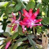 Mooie bloemen van Kerstmiscactus Royalty-vrije Stock Afbeelding