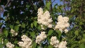 Mooie bloemen witte sering stock video