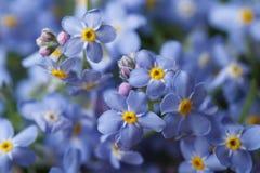 Mooie bloemenachtergrond van blauw vergeet-mij-nietje Stock Foto's