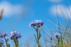 Mooie bloemenvergeet-mij-nietjes stock fotografie
