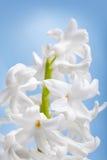 Mooie bloemhyacint Royalty-vrije Stock Afbeeldingen