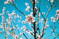 Mooie bloemknoppen die op boom in de hemel van de de lentetijd bloeien Royalty-vrije Stock Afbeeldingen