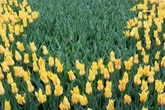 Mooie bloemtuin met heldere citroengele die tulpen in weelderige groen van tuin worden geplooid stock afbeeldingen