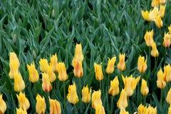 Mooie bloemtuin met heldere citroengele die tulpen in weelderige groen van tuin worden geplooid stock foto