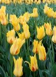 Mooie bloemtuin met heldere citroengele die tulpen in weelderige groen van tuin worden geplooid stock foto's