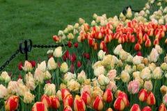 Mooie bloemtuin met heldere oranje en gele die tulpen in weelderige groen van tuin worden geplooid stock fotografie