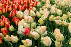 Mooie bloemtuin met heldere oranje en gele die tulpen in weelderige groen van tuin worden geplooid royalty-vrije stock fotografie
