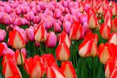 Mooie bloemtuin met heldere oranje en roze die tulpen in weelderige groen van tuin worden geplooid stock afbeeldingen