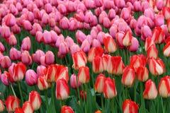 Mooie bloemtuin met heldere oranje en roze die tulpen in weelderige groen van tuin worden geplooid stock foto