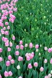 Mooie bloemtuin met heldere roze die tulpen in weelderige groen van tuin worden geplooid royalty-vrije stock foto