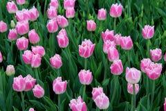 Mooie bloemtuin met heldere roze die tulpen in weelderige groen van tuin worden geplooid stock afbeelding